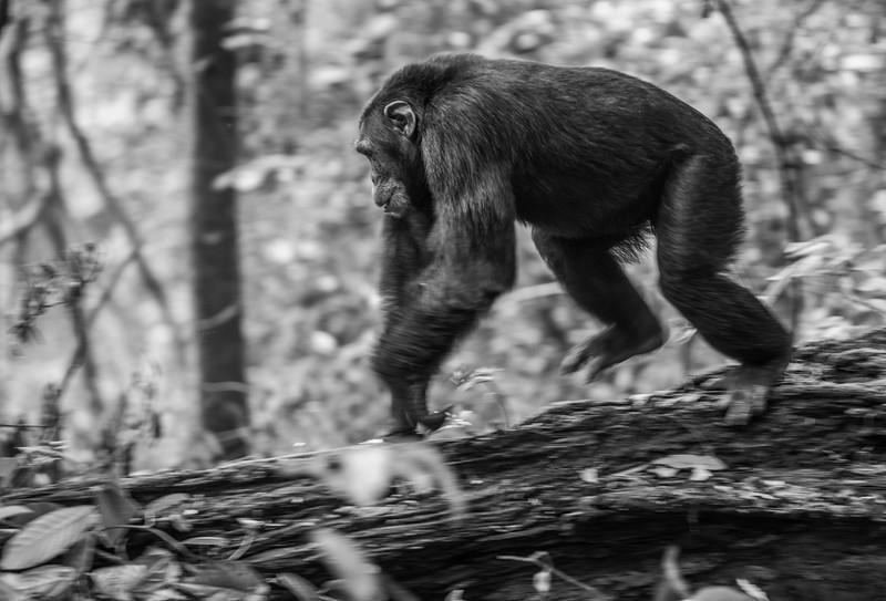 Uganda_T_Chimps-126.jpg