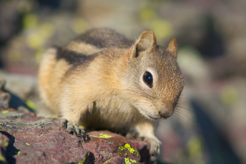 Golden-mantled ground squirrel on lichen, Glacier National Park