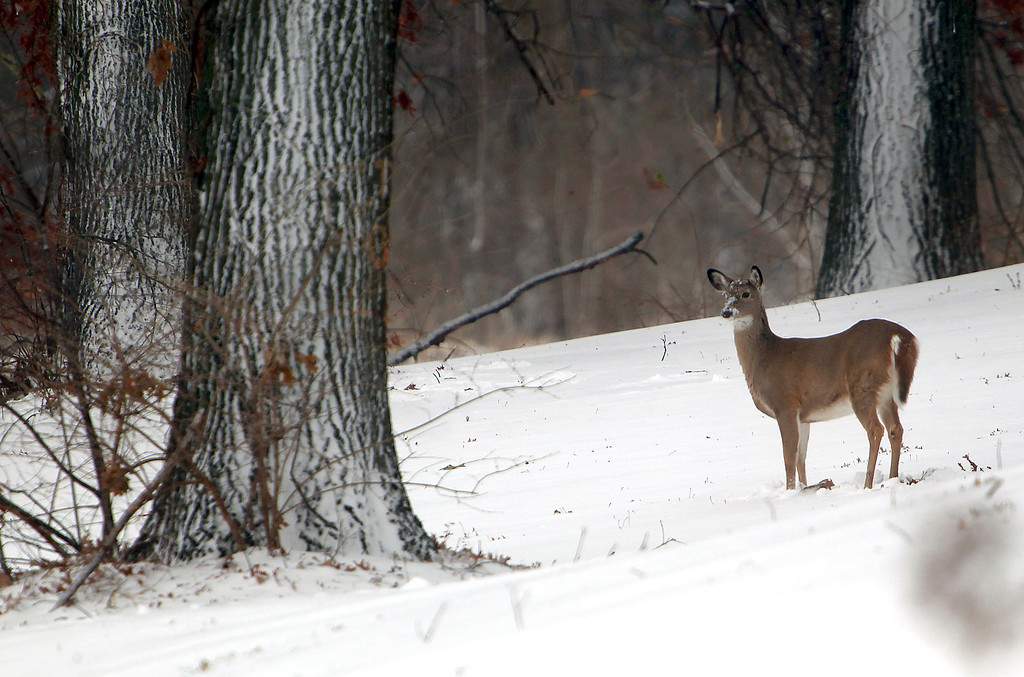 . Sledders are usually seen on the hills of Hyde Park in St. Joseph, Mo. after a significant snowfall, but on Thursday, Dec. 20, 2012 only deer could be seen. (AP Photo/St. Joseph News-Press, Jessica A. Stewart)