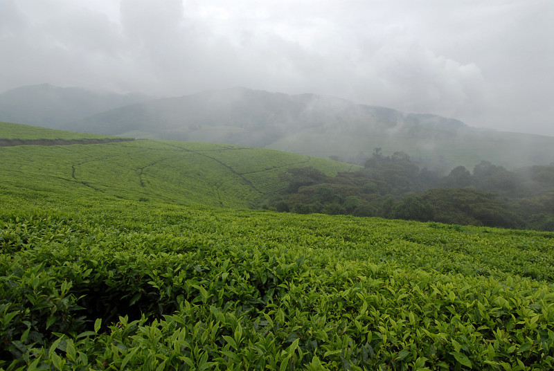 070113 3998 Burundi - Teza Mountains and Tea fields _E _L ~E ~L.JPG