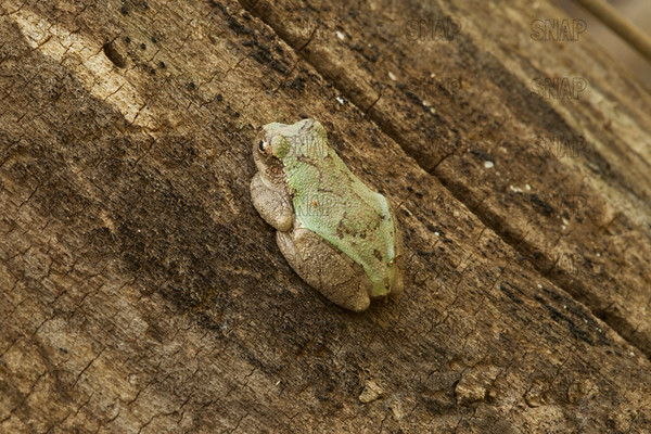 Treefrogs & Exotic Frogs