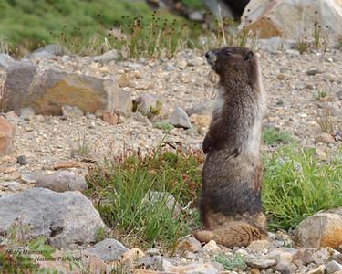 Hoary Marmot 8058.jpg