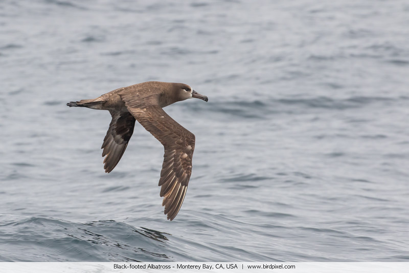 Black-footed Albatross - Monterey Bay, CA, USA