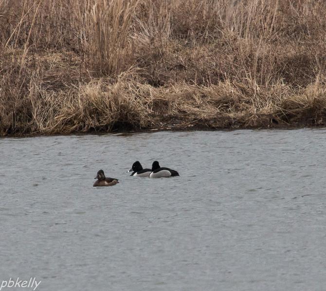 Ring Neck Ducks 032214.jpg