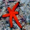 Long Red Starfish