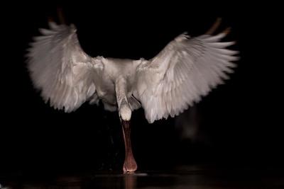 Spoonbills and Gulls
