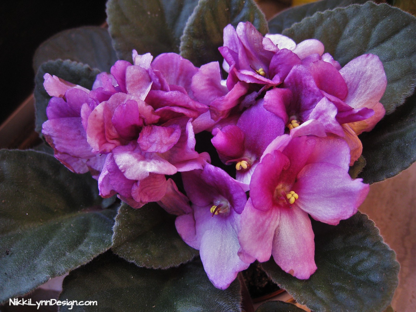 Secret to getting African violets to bloom