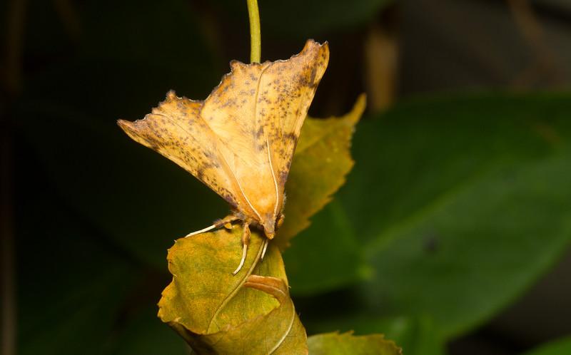 Maple spanworm, Ennomos magnaria (Geometridae), from Iowa.