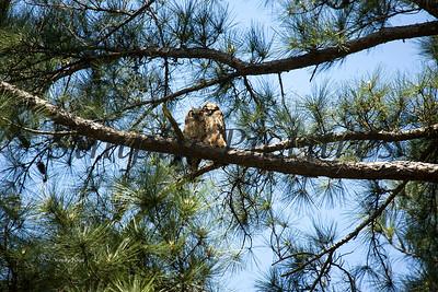 Owl  120