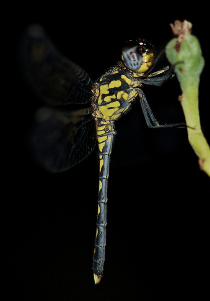 Dragonfly resting at night, Madagascar