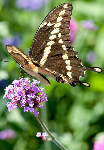 A Giant Swallowtail butterfly gets nectar from a flower at the University of Michigan Matthaei Botanical Gardens in Ann Arbor, Michigan on July 26, 2011.