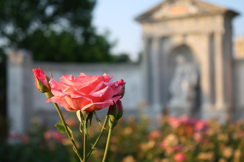 Rose at the Volksgarten.