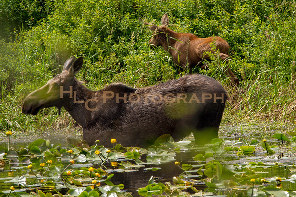 06/21/18 Cow and Calf Moose Cataldo Idaho