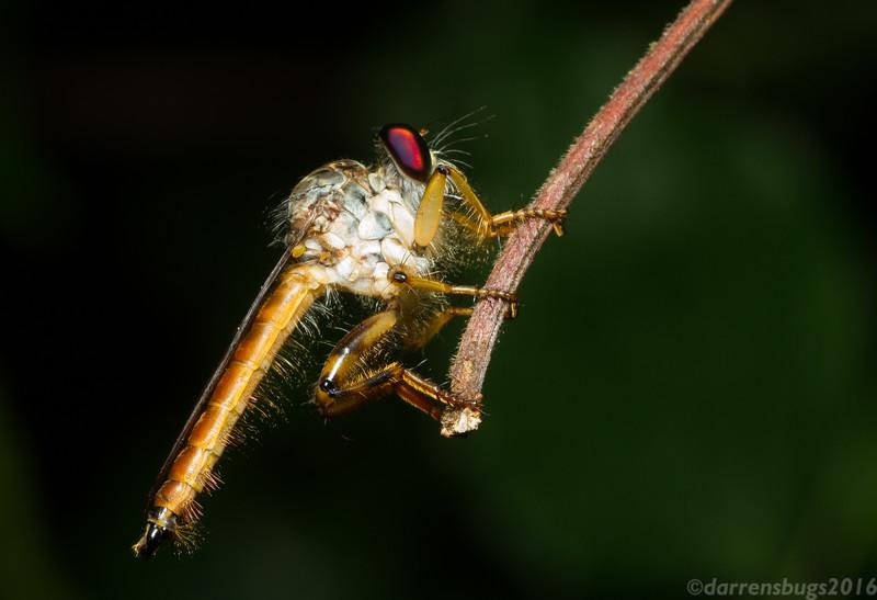 Robber Fly (family Asilidae) from Monteverde, Costa Rica.