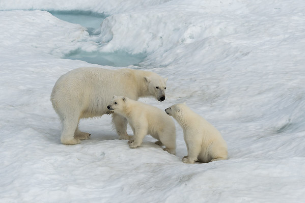 Polar bears at Wrangel and Herald Islands