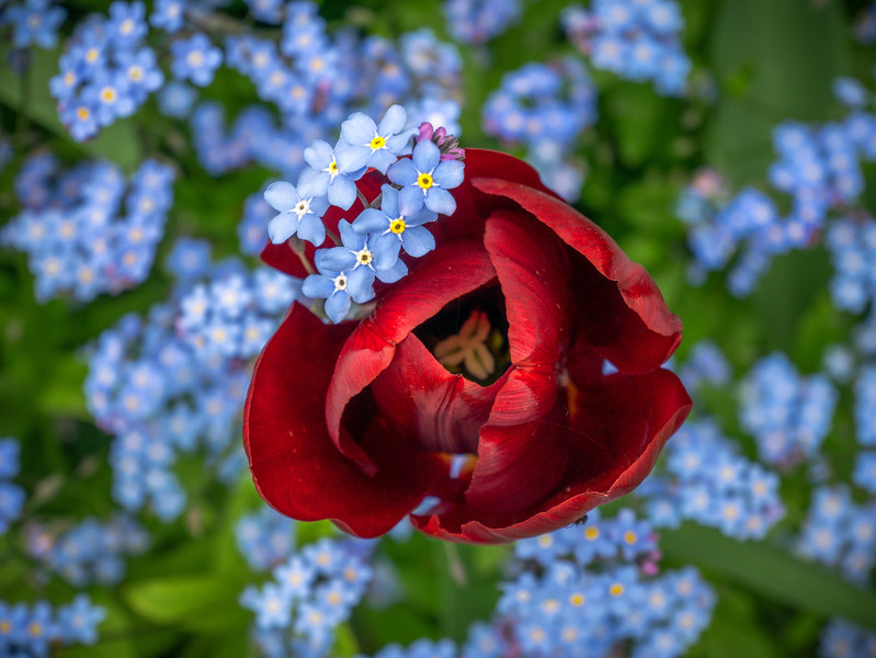 Tulip and Forget-me-not