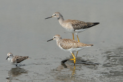 Shorebirds-DeKorte Park NJ
