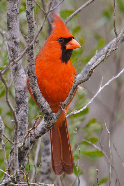 Cardinal - Northern - male - Bald Point, FL
