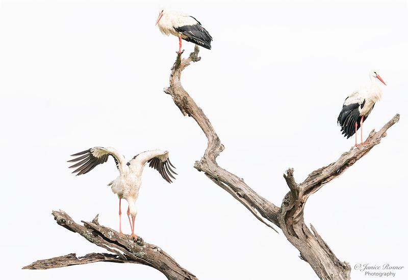 Stork Ballet