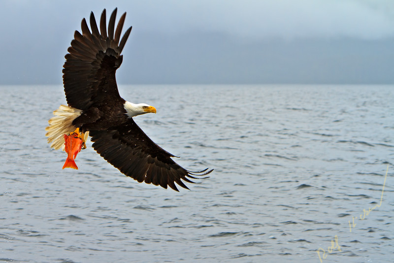 Bald eagle in flight with a fresh caught red snapper in its powerful talons, Pacific Ocean off the British Columbia coast, Canada.