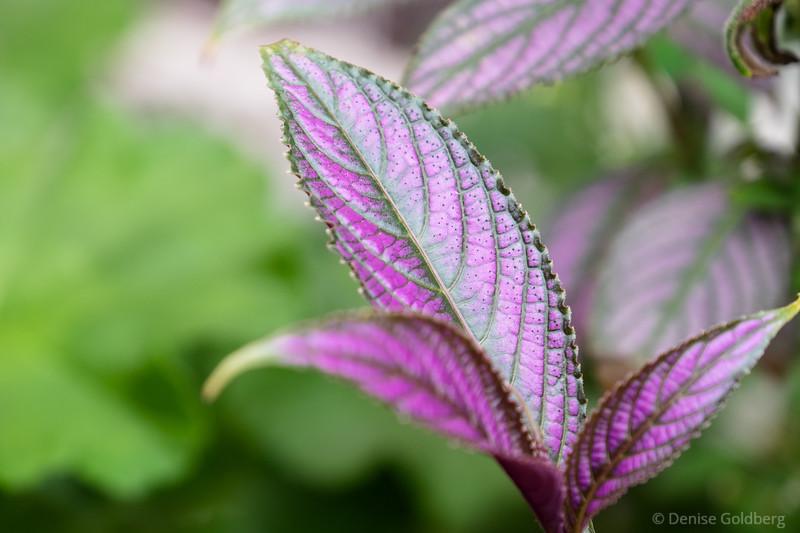 leaves wearing purple