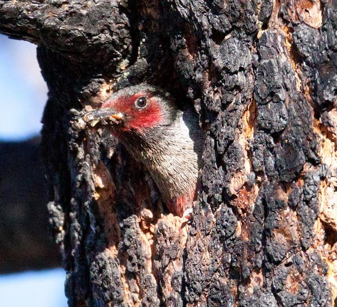 Lewis`s Woodpecker June Lake  Ca  2010 06 23-10.CR2