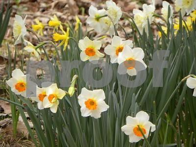 barrett-browning-very-easytogrow-daffodil
