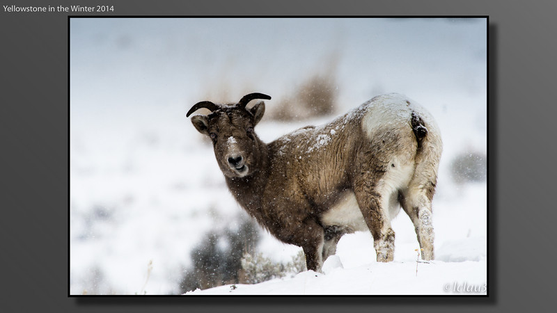 Yellowstone In Winter 2014