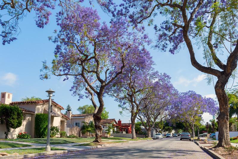 Jacarandas blooming on a street in Leimert Park.