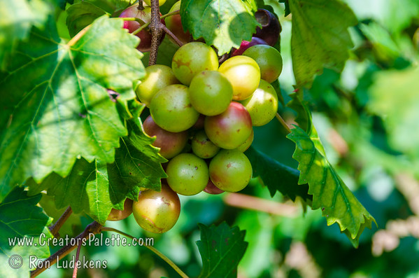 Muscadines (unnamed)
