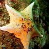 yellow star coronado