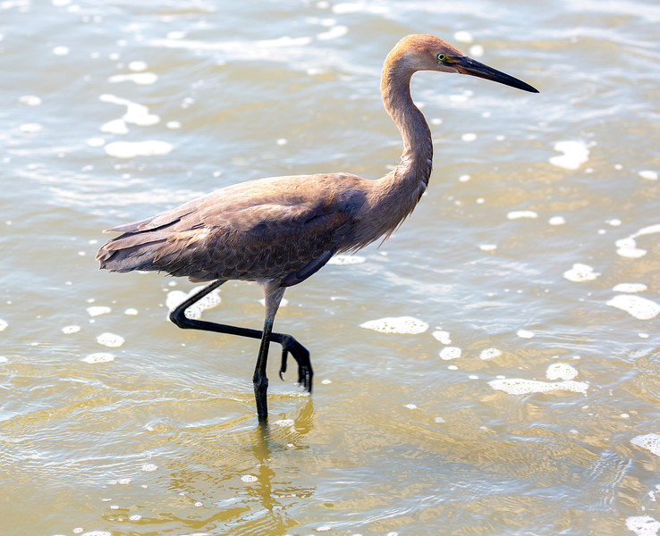 Another look at our pretty Reddish Egret