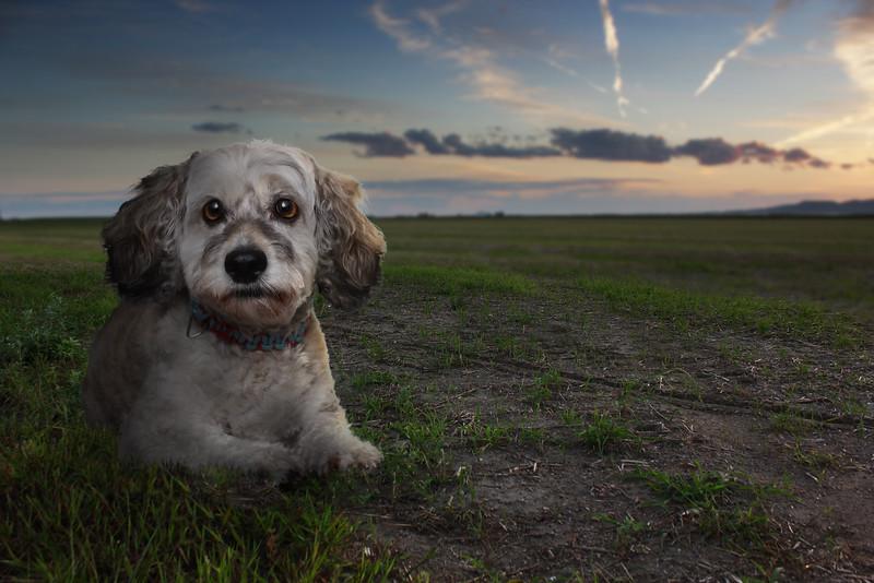 Roxboro-chien-1.jpg