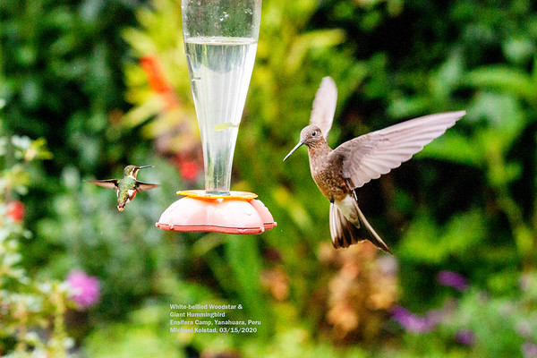Birds of Columbia & Peru Mar 2020