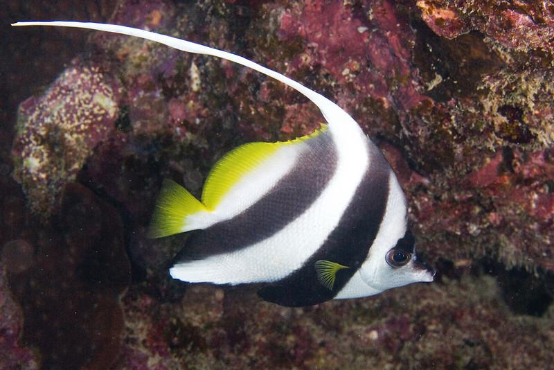 Pennant Bannerfish 2.jpg