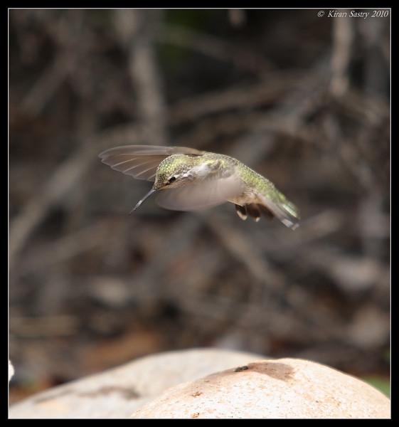 Anna's Hummingbird, The Drip, Cabrillo National Monument, San Diego County, California, April 2010