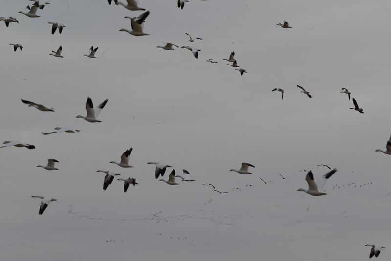 Snow Geese 8 03_13_19.JPG
