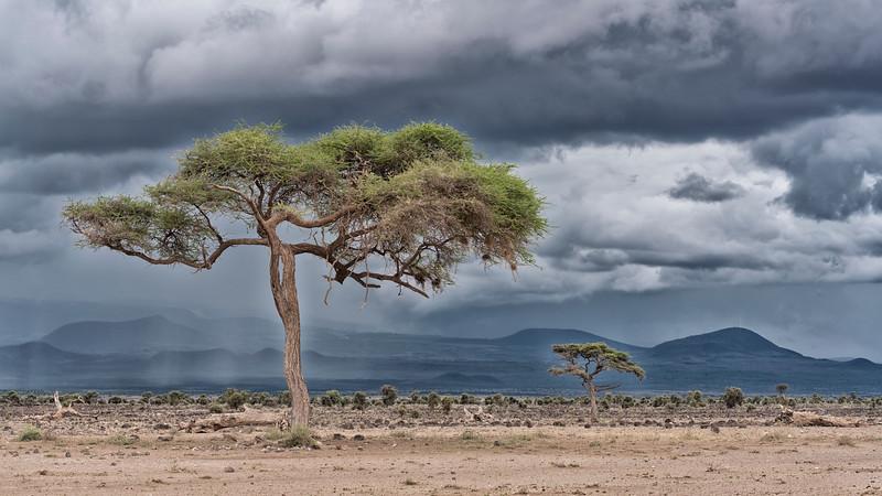 Amboseli Acacia