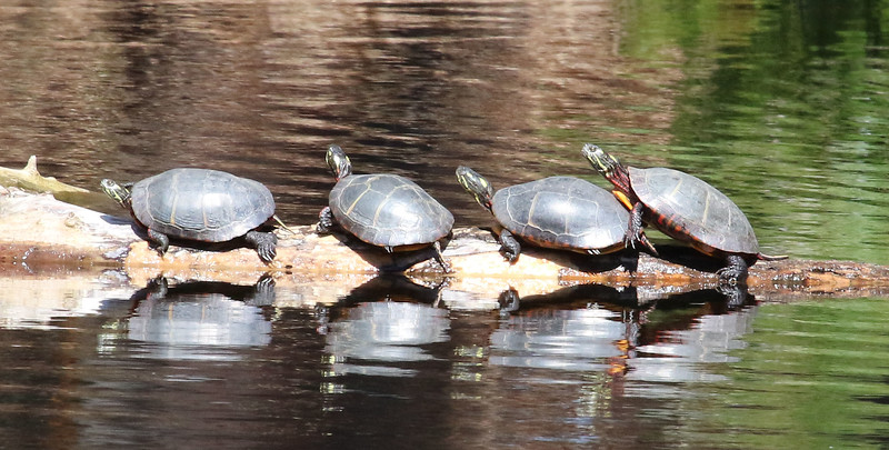 painted turtle line up.jpg