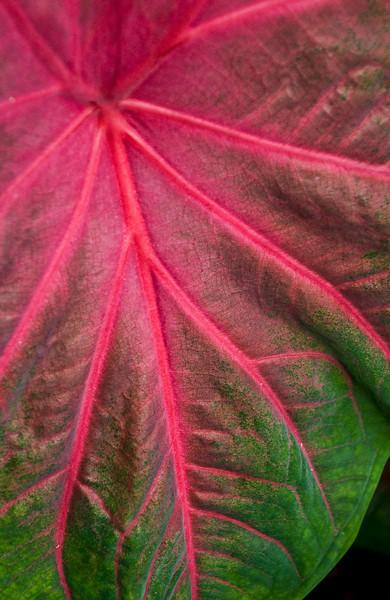 Begonia leaf.jpg