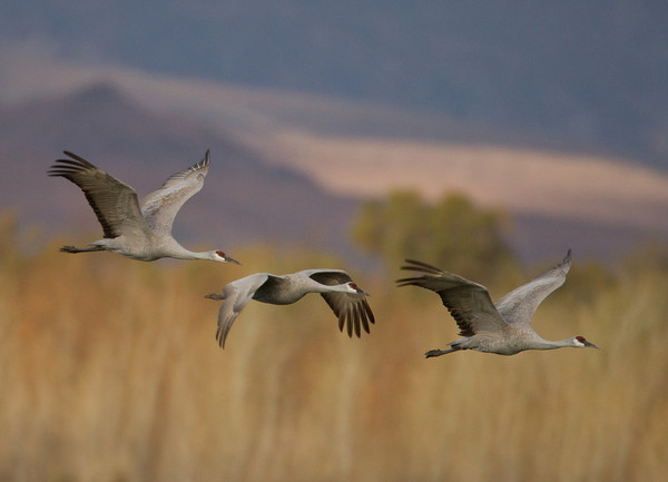 Cranes (Gruidae)