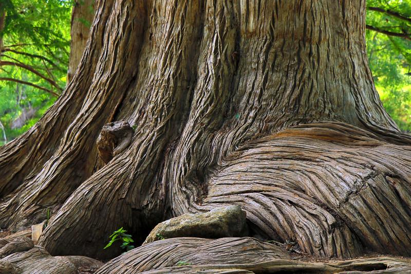 Cypress Tree IMG_1964.jpg
