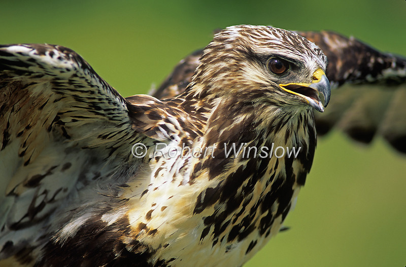 Rough-legged Hawk, Buteo lagopus, North America, controlled conditions