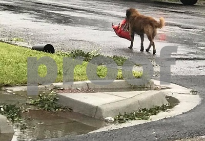 Texas dog prepares for Harvey by carrying bag of food