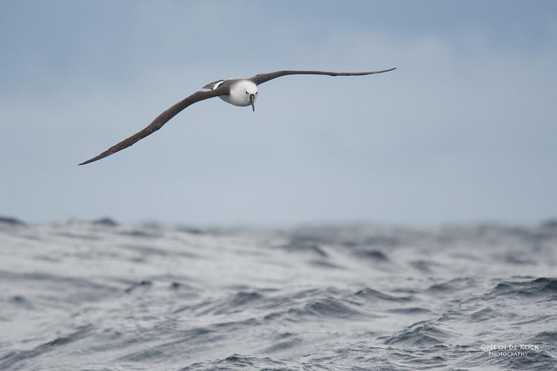 Indian Yellow-nosed Albatross, Eaglehawk Neck Pelagic, TAS, Sept 2016-2.jpg