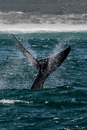 Whales @ Hermanus - check! (2018)