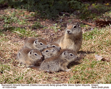 Townsend'sGroundSquirrelsF41484.jpg