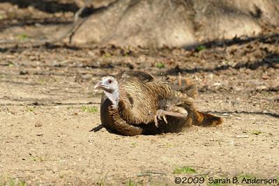 Wild Turkey dirt bath - May 2009