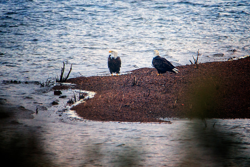 10.10.18 0 Blackburn Creek Fish Nursery: American Bald Eagles