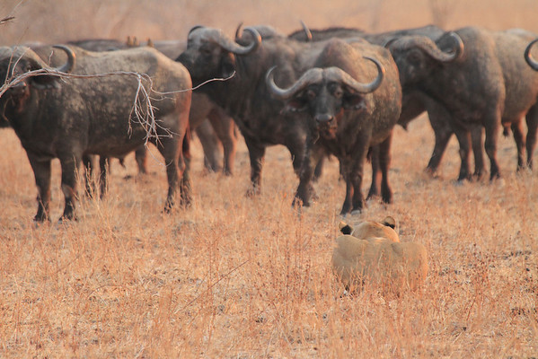 Lion Hunting Buffalo Kaingo Zambia 2013